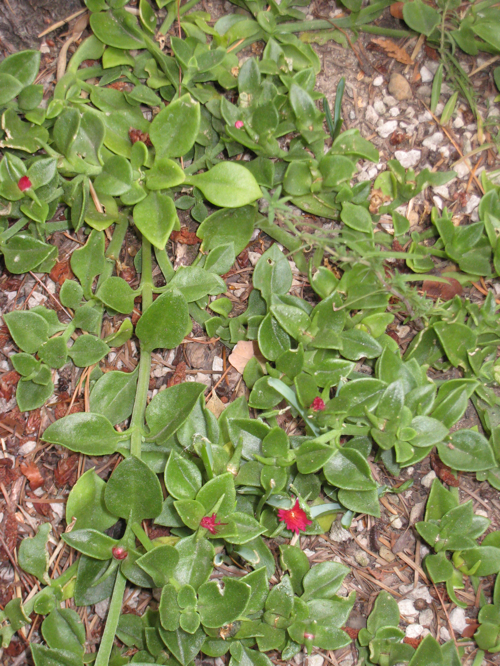 Red Apple ice plant