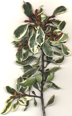 Variegated Italian buckthorn scan