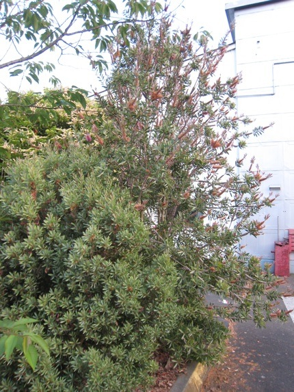 <i>Callistemon citrinus</i> and <i>Callistemon pallidus</i> June 24 2009