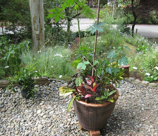 My Chaya plant in a pot with croton cultivars, August 2011