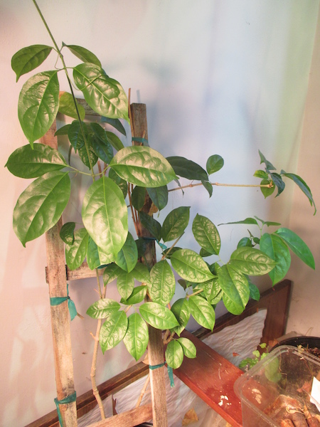 <i>Mansoa hymen&aelig;a.</i> as a houseplant