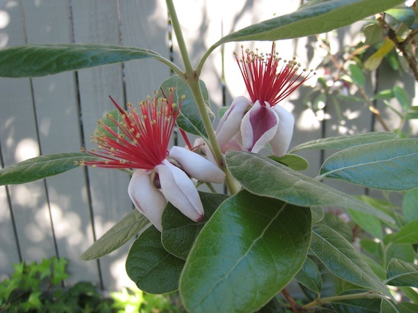 Pineapple Guava flowers in July