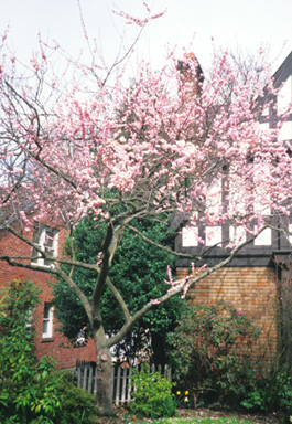 Prunus Mume 'Dawn'