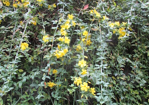 <i>Jasminum nudiflorum</i>