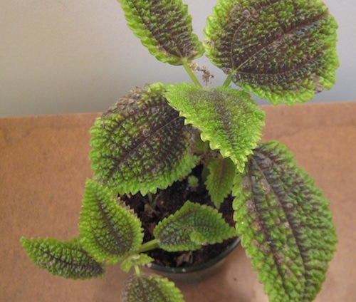 Pilea involucrata Moon Valley