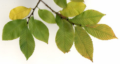 Pioneer Elm twig & leaves
