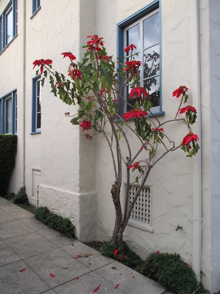 Poinsettia as a shrub