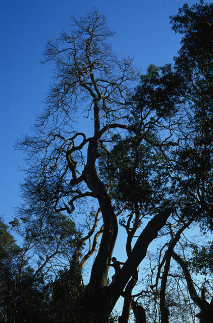 ancient Garry oak at Martha Washington Park