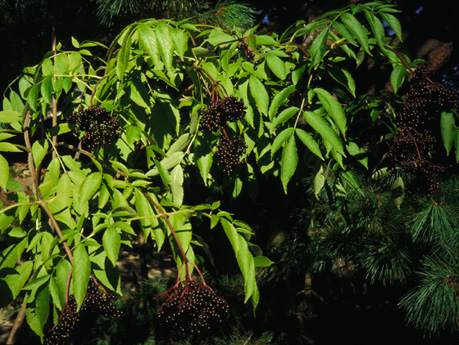 John's Improved elderberries