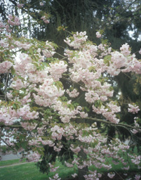<i>Prunus</i> 'Tanko-shinju'
