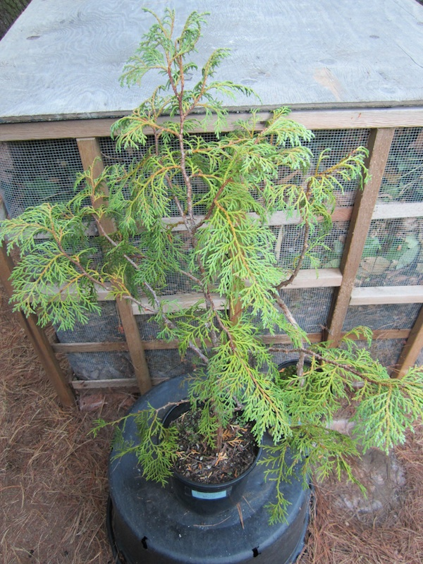 young Thuja sutchuenensis in a pot