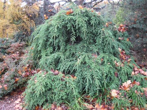 Weeping hemlock about 6 feet tall and 13 feet wide