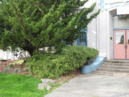 very wide Weeping hemlock