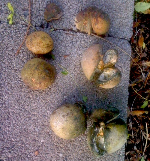 Fruit husks of Yellow-horn