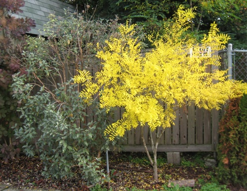 Fall color of a Yellow-horn planted in 2004