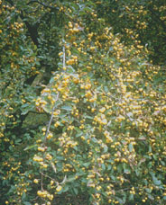 Malus Golden Hornet photo