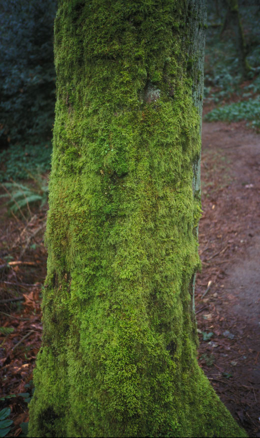 Mossy trunk
